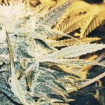 Best humidity for weed: best humidity and ideal temp for growing weed