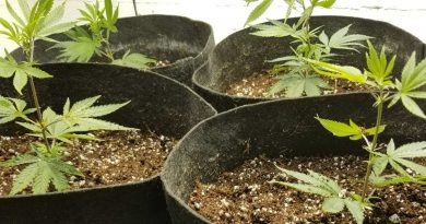 How to choose the best medium for growing marijuana plants.