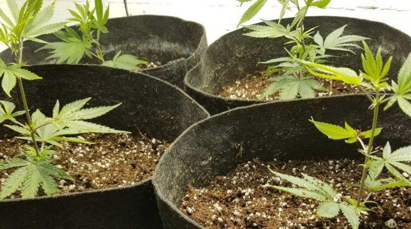 How to choose the best medium for growing marijuana plants.