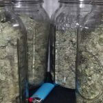 Curing weed: How to cure marijuana properly
