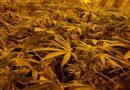Marijuana growing in a Secret Jardin grow tent