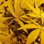 Getting started: how to grow marijuana indoors