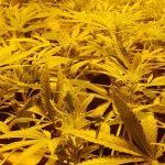 Marijuana Flowering