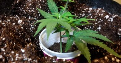 How to transplant marijuana in coco coir.