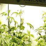 Marijuana grow lights: the best lights for growing weed