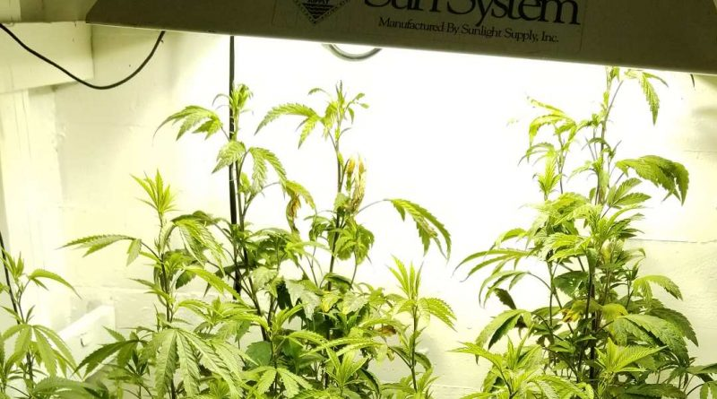 Marijuana grow lights - the best grow light for weed