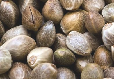 Marijuana seeds 101: How to pick the best type of weed seeds to grow