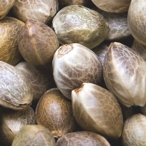 Marijuana seeds 101: How to pick the best type of weed seeds for your grow