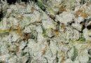 Flushing cannabis: how to flush cannabis plants properly