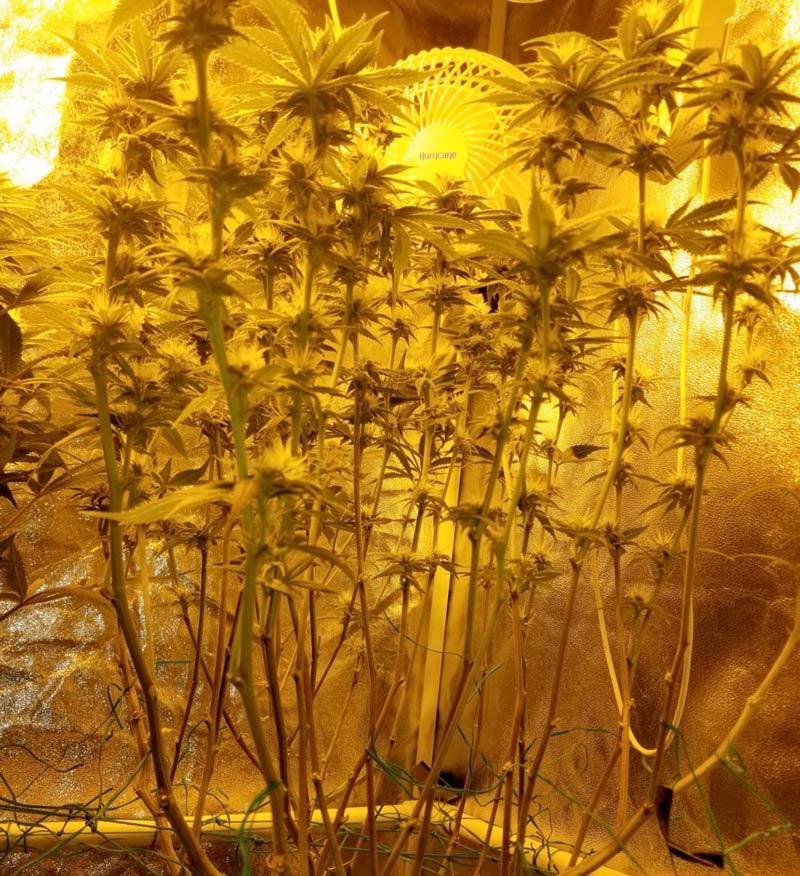A cannabis plant after schwazzing