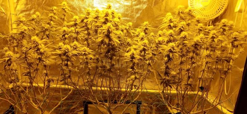 3 Cannabis plants after the schwazzing technique of defoliation was applied.